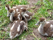 The four hand reared Egyptian Goose goslings