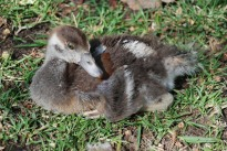 One of our hand reared Egyptian Goose goslings