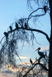 Birds roosting in dead Acacia trees on the island