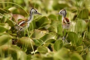 African Jacana chicks