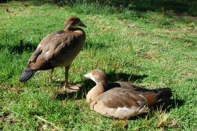 The Egyptian Geese grown up