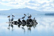 Pelicans in front of Longonot