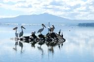 Pelicans in front of Longonot