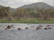 Hippo's in the Ziwani Island/Lentolia bay