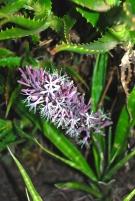 Sansevieria flowering on the island