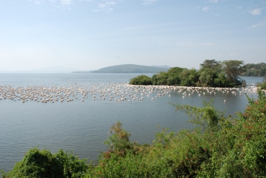 A thousand pelicans drifting past the deck