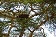 Hammerkop's nest on the island