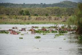 Hippos in the nearby bay